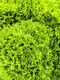 Курчавый зеленый салат Стоковые Фотографии RF