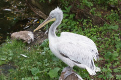 Курчавый пеликан Стоковые Фото