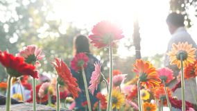 курьерский цветок цветет удовольствие макроса влюбленности жизни gerbers gerbera солнечное к акции видеоматериалы