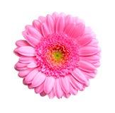 курьерский цветок цветет удовольствие макроса влюбленности жизни gerbers gerbera солнечное к Стоковая Фотография