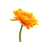 курьерский цветок цветет удовольствие макроса влюбленности жизни gerbers gerbera солнечное к Стоковое Фото
