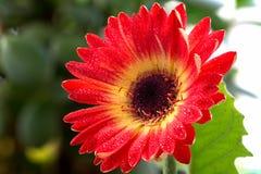 курьерский цветок цветет удовольствие макроса влюбленности жизни gerbers gerbera солнечное к Стоковые Изображения