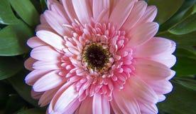 курьерский цветок цветет удовольствие макроса влюбленности жизни gerbers gerbera солнечное к Стоковые Фото