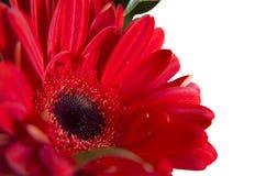 курьерский цветок цветет удовольствие макроса влюбленности жизни gerbers gerbera солнечное к Стоковое Изображение