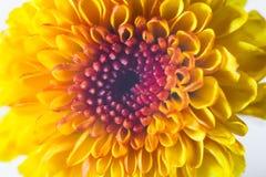 курьерский цветок цветет удовольствие макроса влюбленности жизни gerbers gerbera солнечное к стоковое фото rf