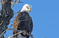 курятник облыселого орла Стоковая Фотография RF