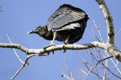 Курятник черного хищника, Georgia, США Стоковые Изображения RF