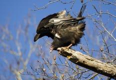 Курятник черного хищника, Georgia, США Стоковое фото RF