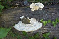Кусковатые грибки кронштейна Стоковая Фотография