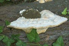 Кусковатый грибок кронштейна Стоковые Изображения