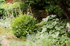 Кустарники Boxwood в дизайне сада ландшафта стоковое изображение