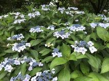 Кустарники macrophylla гортензии в цветени Стоковая Фотография