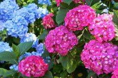 Кустарник гортензии розовый и cyan, кустовидный с огромными крышками цветорасположений цветков, голубых и розовых на кустах Стоковые Фотографии RF