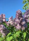 Кустарник зацветая сирени бледного фиолета Стоковые Фотографии RF
