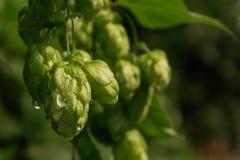 Кустарник зеленых хмелей стоковая фотография