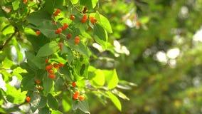 Кустарник каприфолия tatarica Lonicera с оранжевыми ягодами на ветре Зеленый куст против солнечного bokeh в деревьях r акции видеоматериалы