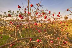 Кустарник плода шиповника - canina красного плода шиповника ягоды розовое над водой Стоковое Изображение