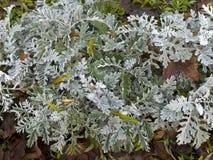 Кустарник ` пыли серебра ` cineraria Senecio Стоковые Фото