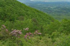 Кустарник рододендрона Catawba, горы голубого Ридж и Shenandoah Valley стоковое фото rf