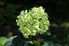 Кустарник сада гортензии или Hortensia с пуком тишины формируя салатовые цветки окруженные с толстыми темными ыми-зелен листьями стоковое изображение