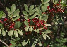 Кустарник с серией красных ягод на ветвях фото, фисташке стоковые фото