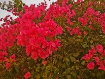 Кустарник с яркими красными цветками Стоковые Изображения