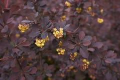 Кустарник atropurpurea thunbergii барбариса стоковое фото rf