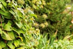Кустарник clematis с семенами на предпосылке листвы стоковые фото