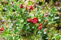 Кустарник Lingonberry с ягодами Стоковое Изображение RF