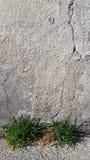 2 куста зеленых травы около стены штукатурки стоковая фотография