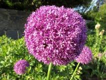 Кустовидный фиолетовый цветок Стоковые Фотографии RF