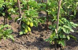 Кусты зеленых томатов растут на кровати сада и загоренный солнечным светом стоковое фото rf