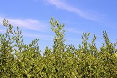 Кусты и голубое небо Стоковое Фото
