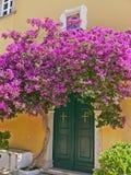 Кусты лоз бугинвилии терновые орнаментальные, и деревья с похожей на цветк весной выходят около своих цветков Стоковые Изображения
