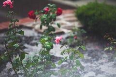 Кусты роз под летом идут дождь падения в парке города Стоковая Фотография RF