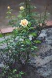 Кусты роз под летом идут дождь падения в парке города Стоковая Фотография