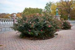 Кусты роз растя на вымощенном патио Стоковое фото RF