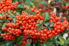 Кусты с красными ягодами, красочной предпосылкой осени, концом-вверх стоковое фото rf
