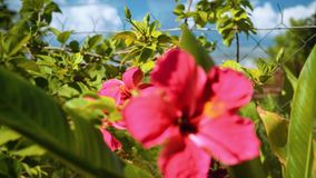 Кусты с розовыми цветками гибискуса акции видеоматериалы