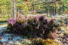 Кусты цветя вереска стоковое фото rf