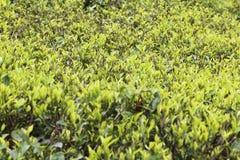 Кусты чая с молодыми листьями чая Стоковые Изображения RF