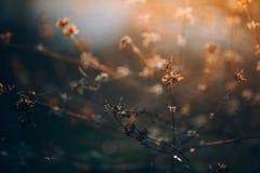 Куст бабочки на заходе солнца Стоковые Изображения RF