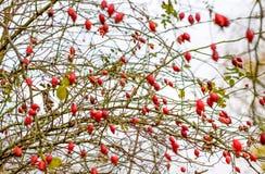 Куст бедер со зрелыми ягодами Ягоды dogrose на кусте Плоды диких роз Терновое dogrose E стоковое фото