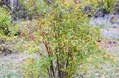 Куст бедер со зрелыми ягодами Ягоды dogrose на кусте Плоды диких роз Терновое dogrose E стоковое фото rf