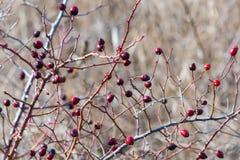 Куст бедер со зрелыми ягодами Ягоды dogrose на кусте Плоды диких роз Терновое dogrose Красные плоды шиповника Красный зрелый bria стоковые фотографии rf