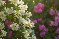Куст белого жасмина и розовые розы Расположение сада белых и розовых цветков Стоковые Фотографии RF