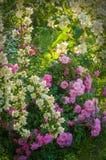 Куст белого жасмина и розовые розы Расположение сада белых и розовых цветков Стоковое фото RF