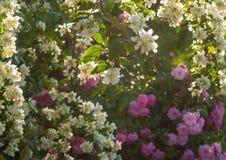 Куст белого жасмина и розовые розы Расположение сада белых и розовых цветков Стоковая Фотография RF