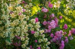 Куст белого жасмина и розовые розы Расположение сада белых и розовых цветков Стоковое Фото