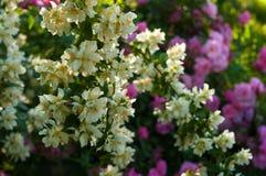 Куст белого жасмина и розовые розы Расположение сада белых и розовых цветков Стоковая Фотография